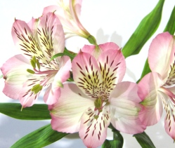 light-pink-alstromeria